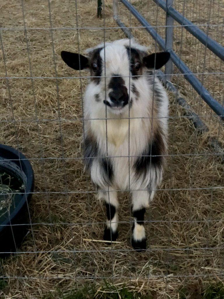 Poe, MerryTale Farm's registered Nigerian Dwarf buck